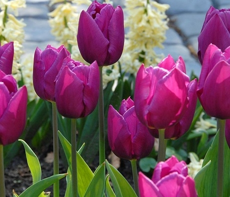 Purple Prince Tulip Bulbs