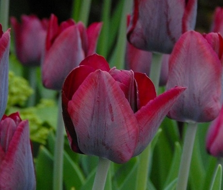 Ronaldo Tulip Bulbs