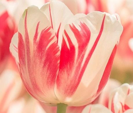 Sorbet Tulip Bulbs