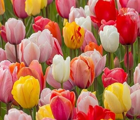 Tulip Surprise Bulb Collection