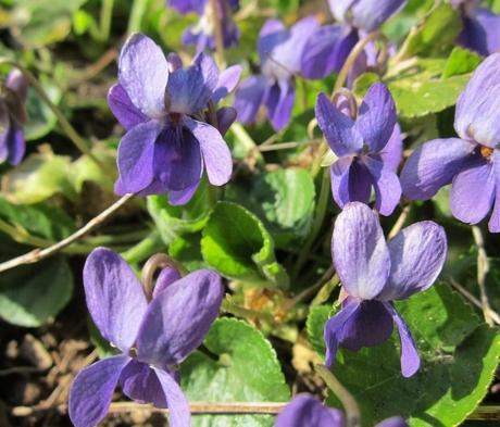 Violet, Sweet Purple (Viola odorata) Plant
