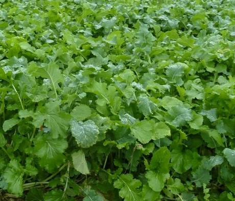 Barkant Stubble Turnip - Boston Seeds