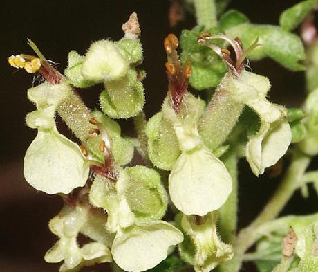 Sage, Wood (Teucrium scorodonia) Seeds