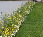 Cornfield Annuals Wildflower Seed Border