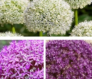 Giant Allium Bulb Collection