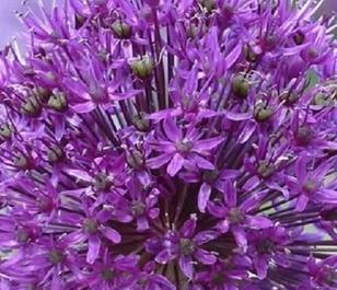 Aflatunense Allium Bulbs