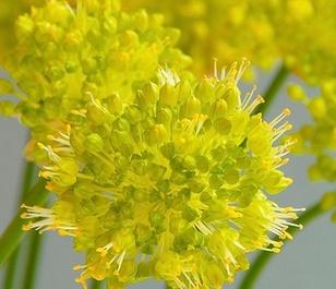 Obliquum Allium Bulbs