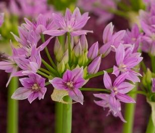 Unifolium Eros Allium Bulbs