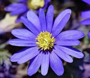Blanda Blue Anemone Bulbs