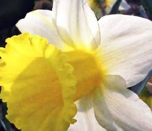 Anniversary Gift Daffodil Bulbs