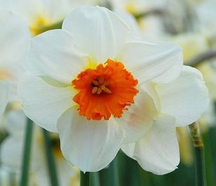 Barrett Browning Daffodil Bulbs