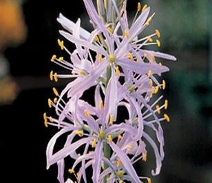 Camassia Cusickii Bulbs