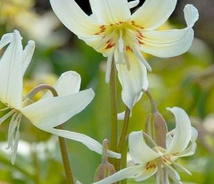 Erythronium White Beauty Bulbs