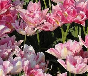 Foxtrot Tulip Bulbs - Bulk Buy