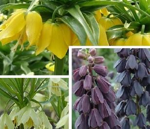 Giant Fritillaria Bulb Collection