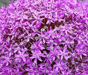 Giganteum Allium Bulbs