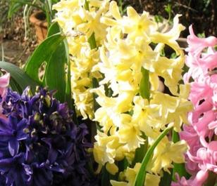 City of Haarlem Hyacinth Bulbs