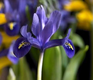 Harmony (Dwarf) Iris Bulbs - Bulk Buy