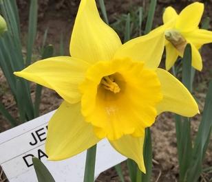 Jedna Narcissi Bulbs