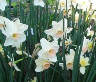 Bell Song Narcissi Bulbs