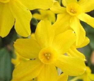 Sweetness Narcissi Bulbs