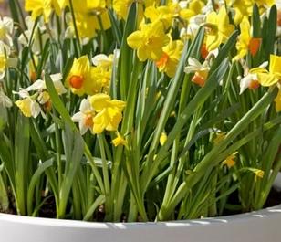 Mixed Species Narcissi Bulbs