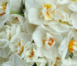 Sir Winston Churchill Daffodil Bulbs