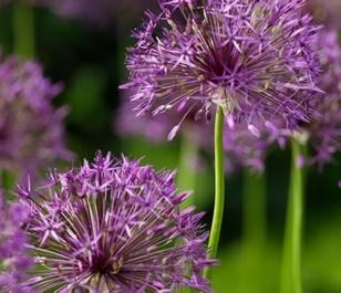 Purple Rain Allium Bulbs