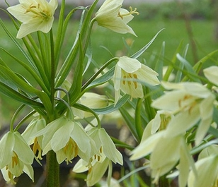 Raddeana Fritillaria Bulbs