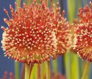Red Mohican Allium Bulbs