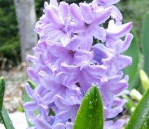 Splendid Cornelia Hyacinth Bulbs