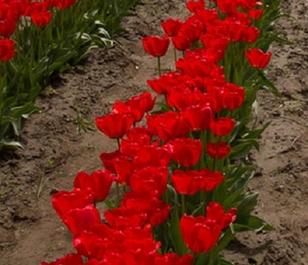 Couleur Cardinal Tulip Bulbs