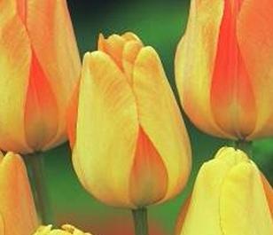 Daydream Tulip Bulbs