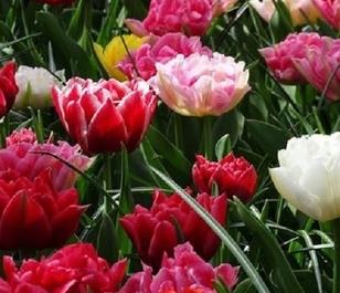 Mixed Double Tulip Bulbs - Bulk Buy