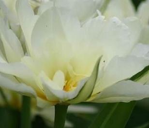 Exotic Emperor Tulip Bulbs - Bulk Buy