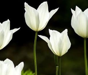 White Triumphator Tulip Bulbs - Bulk Buy