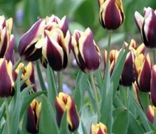 Gavota Tulip Bulbs - Bulk Buy
