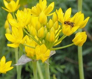 Moly Allium Bulbs