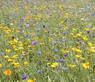 BSAM Annual Summer Bee Wildflower Meadow Seeds
