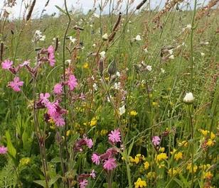 BSRE 100%: Restore & Enrich Wildflower Seeds