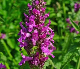 Betony (Stachys officinalis) Plant