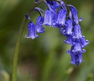 Bluebell (Hyacinthoides non-scripta) Seeds