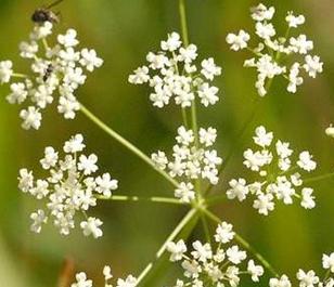 Saxifrage, Burnet (Pimpinella saxifraga) Plant