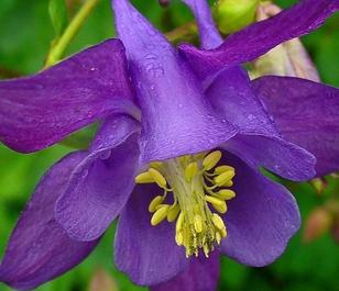 Columbine (Aquilegia vulgaris) Plant