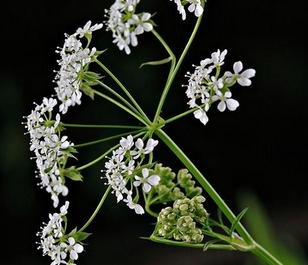 Cow Parsley (Anthriscus sylvestris) Seeds