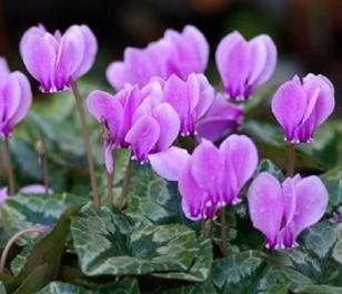 BS Cyclamen Tubers (Cyclamen hederifolium)