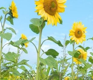 Dwarf Sunflower Seed