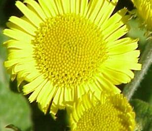 Fleabane, Common (Pulicaria dysenterica) Plant