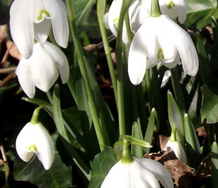 BS Double Snowdrop (Flore Pleno) Bulbs 'In The Green' (Galanthus nivalis f. pleniflorus)