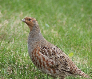 CSS10/GP Wild Bird Mixture - Grey Partridge  (1 or 2 year) AB9